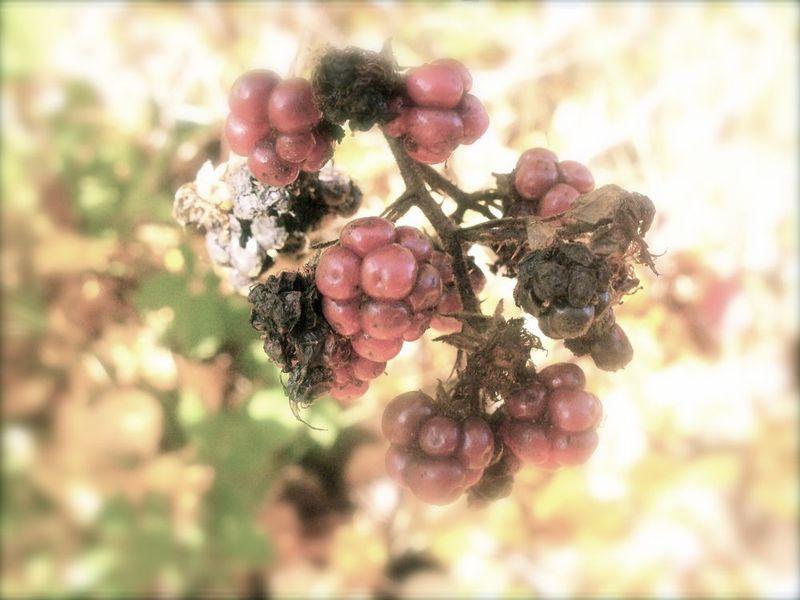 River blackberries