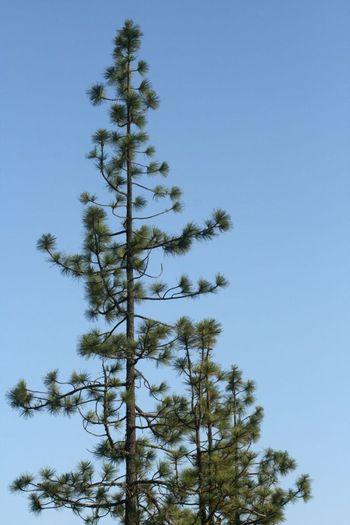 Jeffrey pine