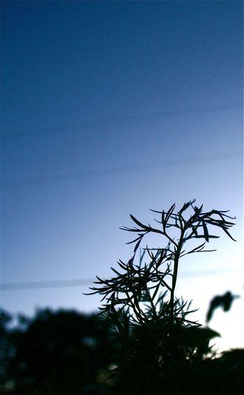 Delphino cilantro