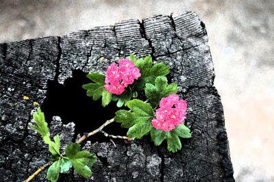 Shasta flowers