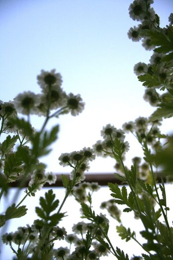Feverfew from underneath