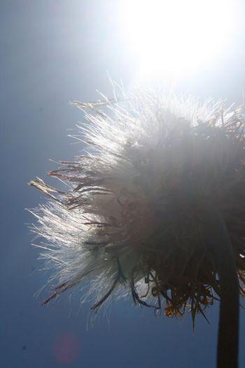 Dandelion tuft