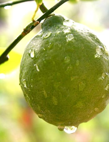 Lemonbig