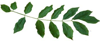 Salal branch