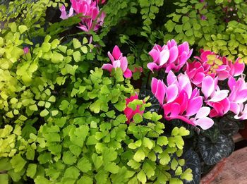 Cyclamen and maidenhair