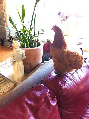 Hen on sofa