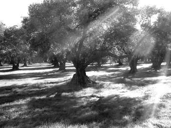 Olive_grove_bw